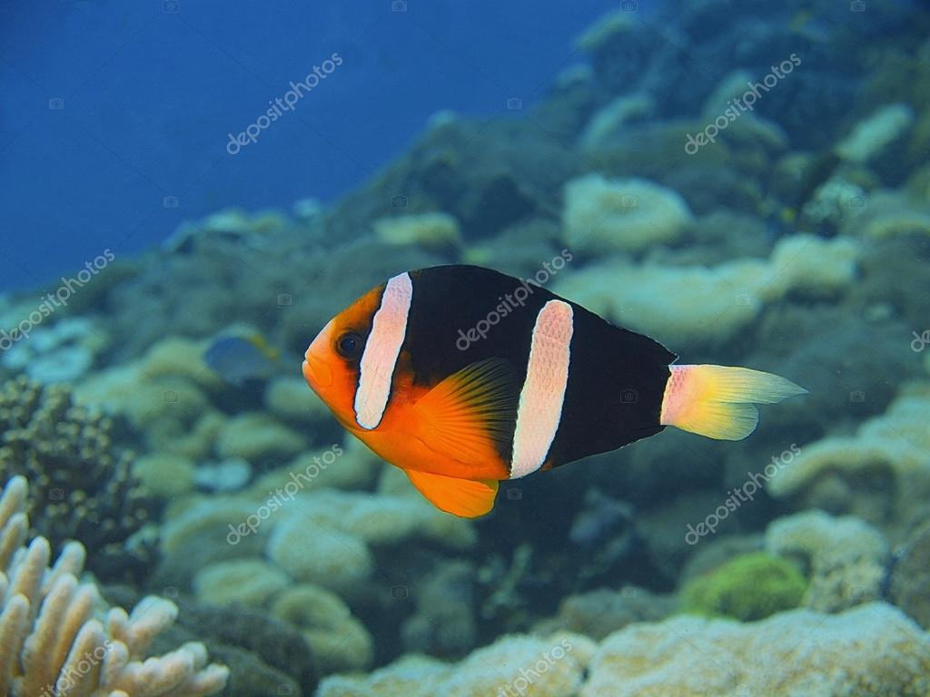 Pesce pagliaccio bali island pemuteran foto stock for Pesce pagliaccio foto