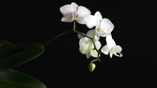Csepp alá phalaenopsis orchidea fekete alapon