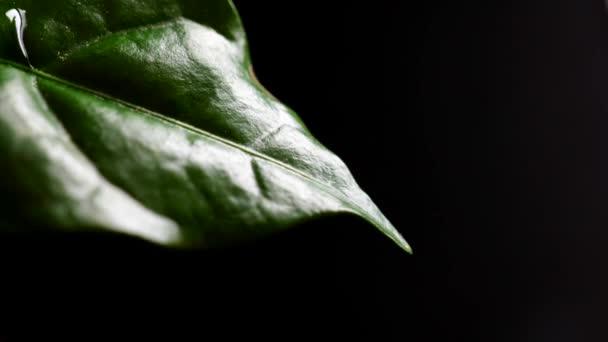 Szoros kilátás vízcseppek zöld kávé levél