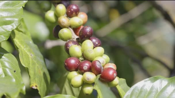 Arabicas kávébab érlelés fa Észak-Thaiföldön