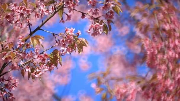 Cseresznyevirág, Sakura virágokat