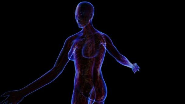 Sistema muscolare femminile