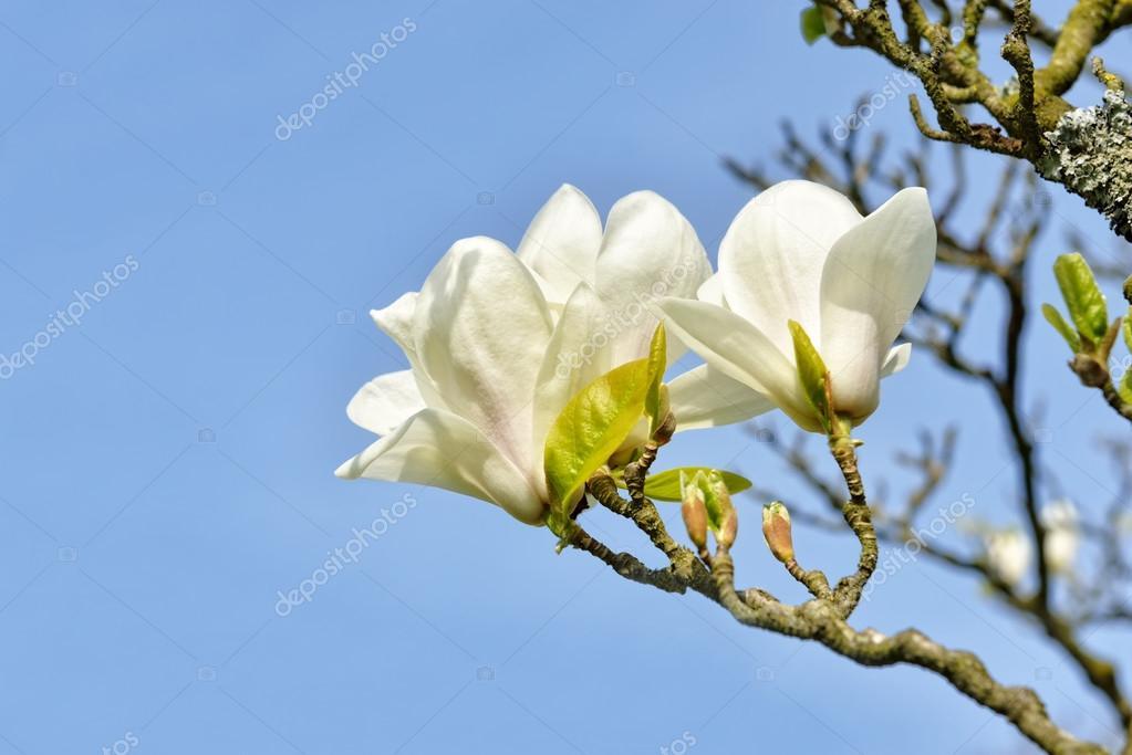 Magnolia Tree With Big White Flowers Stock Photo Poissonenciel