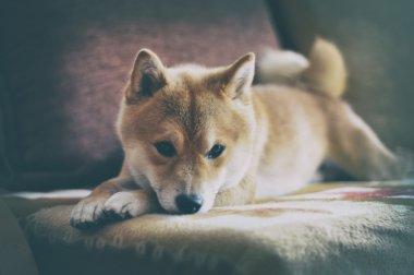 Vintage Siba inu Dog lying on the sofa