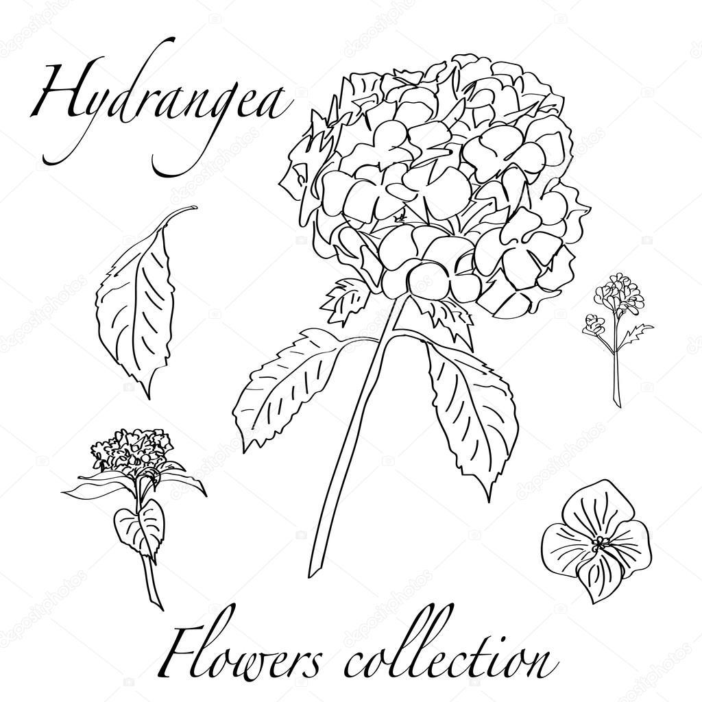 Dessin De Fleurs D Hortensia Image Vectorielle Zairat C 94939952