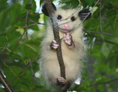 Summertime Young Opossum Study