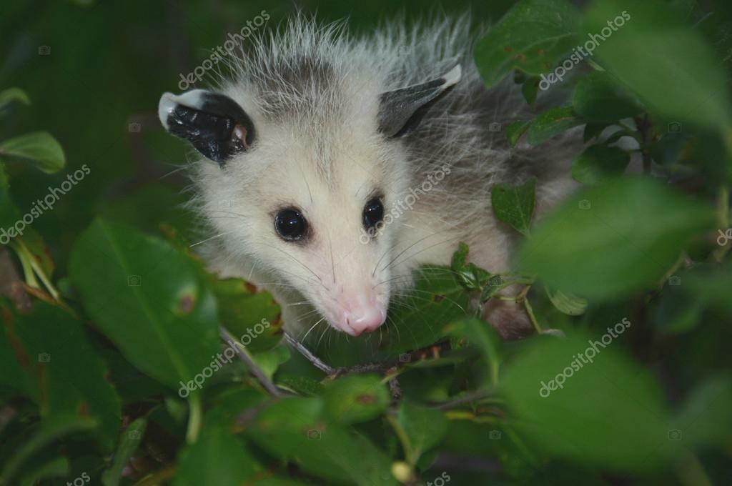 A Summer Opossum Perspective