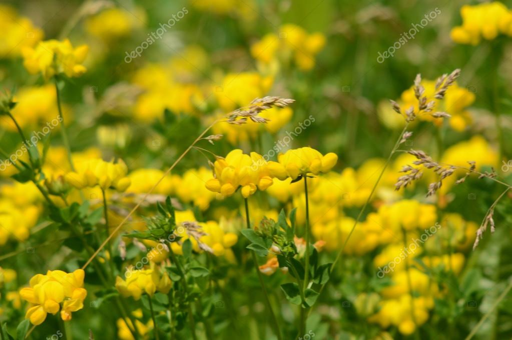 Yellow Prairie Puccoon Blossoms