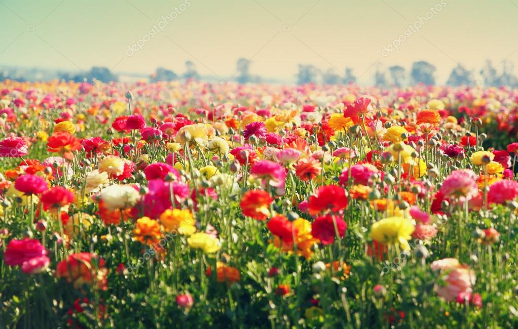 Low angle photo of close up photo of field of flowers , image is vintage style filtered. selective focus