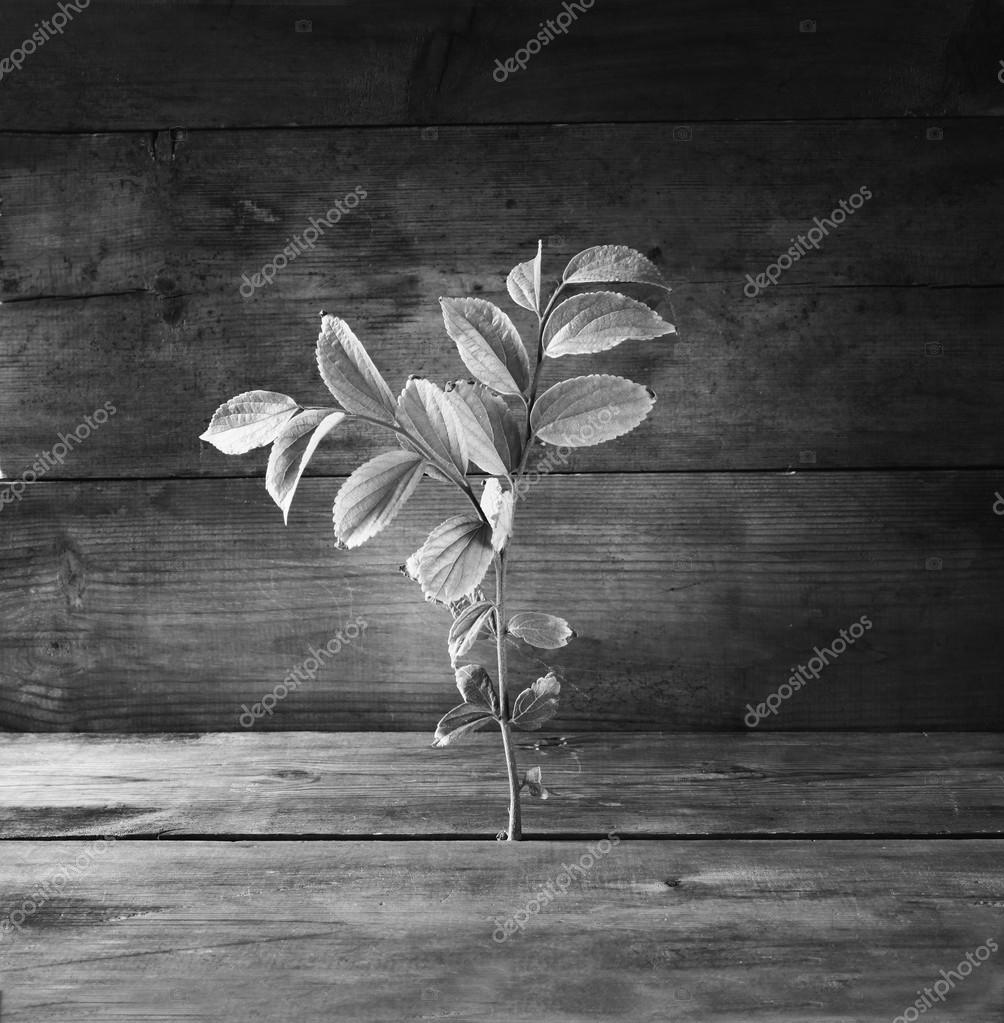 black and white image of plant grows in old wood crack