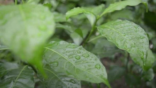 Close up falling raindrops water on green crape jasmine tree plants leaf. Summer Monsoon Rain drops on Green Tree leaves. Beautiful rainy season. Nature background. Stock Footage. Focus on foreground.