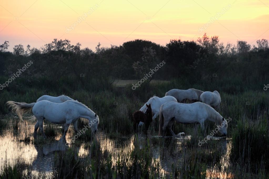 Camargue Horses in morning light