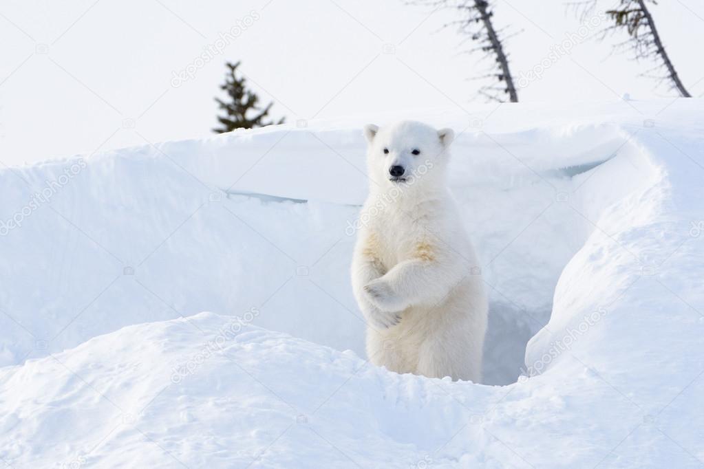 Polar bear ( Ursus maritimus) cub