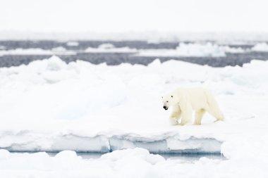 Polar Bear (Ursus maritimus) on floe edge.