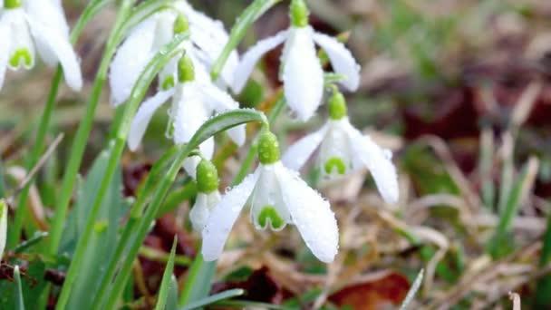 Snowdrops (Galanthus nivalis) in rain