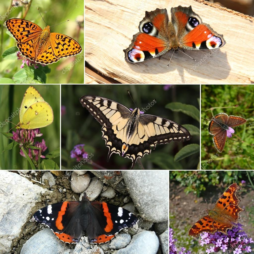 Collage of European butterfly species. Series III