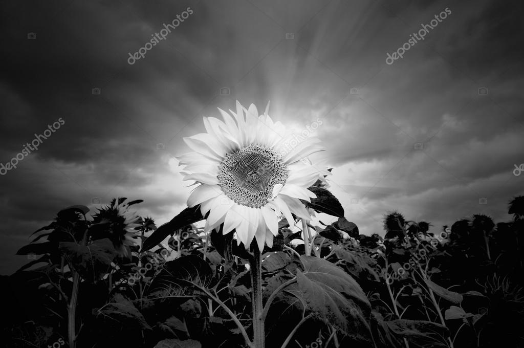 Girasol En Blanco Y Negro Fotos De Stock Ankihoglund 52170055