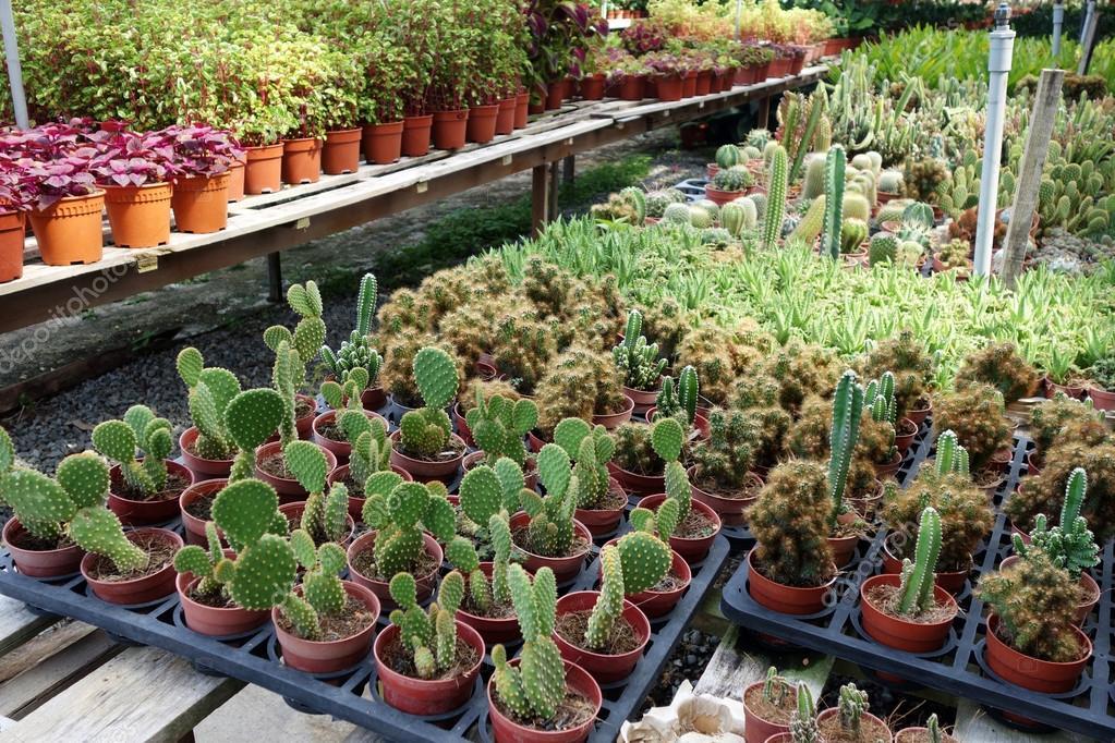 Plantas de cactus en viveros fotos de stock tang90246 for Vivero de cactus