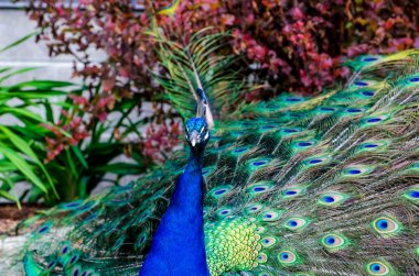 Stunning Colorful peacock