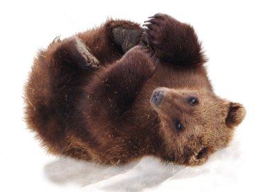 Furry Alaskan Bear Cub
