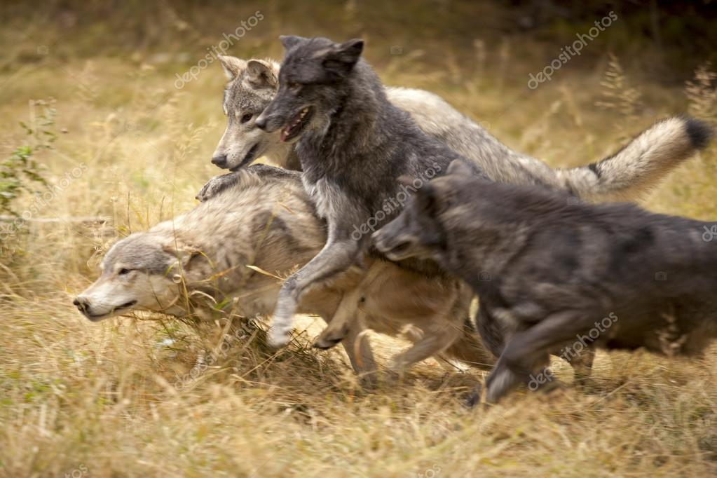 Wolf Pack Playtime