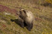 Brown Bear on Fall Tundra
