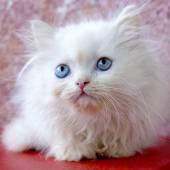 Fehér perzsa kiscica