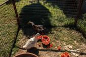 Kachny stojící u vodního melounu v křoví na trávě