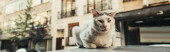 Cat on roof of car with street on blurred background, banner