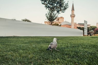 Bird on green grass and Mihrimah Sultan Mosque at background in Istanbul, Turkey stock vector