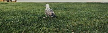 Grey bird on green grass of meadow, banner stock vector