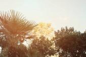 palmy, borovice a magnólie proti jasné, bezmračné obloze