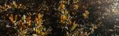 magnólie strom se zelenými, lesklými listy, prapor