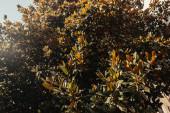 magnólie se zelenými lesklými listy na slunci