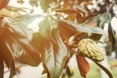 Magnoliová větev s lesklými listy a kuželem
