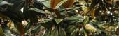 větev magnólie se zeleným kuželem, prapor