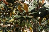 větve magnólie s lesklými listy a kornouty