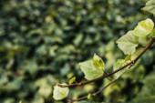 Nahaufnahme von Efeuzweig mit grünen Blättern