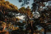 staré borovice na kopci s výhledem na moře