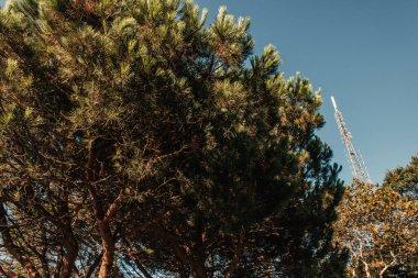 High coniferous trees against blue sky stock vector