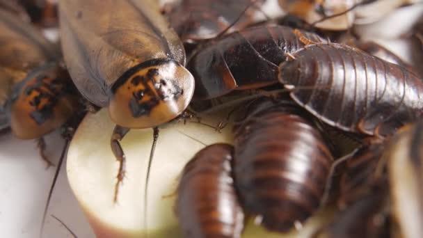Zavřít švábi rodina jí jídlo na talíři v kuchyni, 4K záběry. Zvířata s bacily a špínou