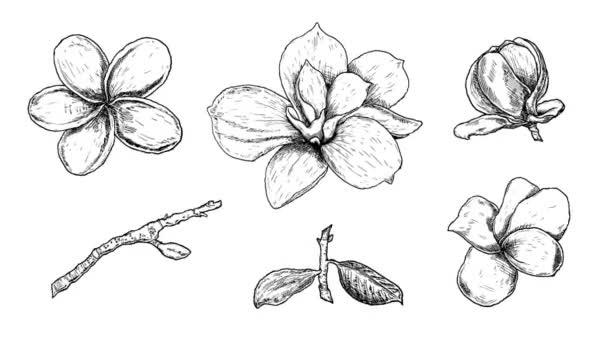 kézzel rajzolt animációs készlet gyönyörű magnólia és plumeria, rajz tavaszi virágok elszigetelt fehér alapon.