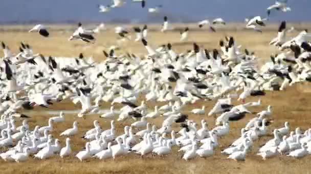 Schneegänse schwärmen zusammen Frühling Zugvögel flüchten