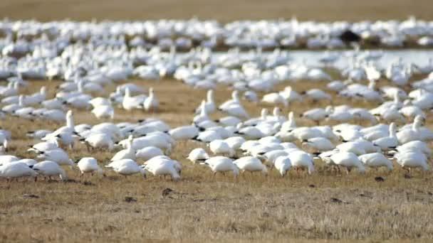 Schneegänse schwärmen zusammen Frühling Zugvögel