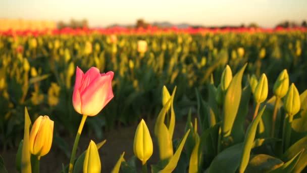 Sólové růžová Tulipán ohyby otevření první zemědělské květinovou farmu