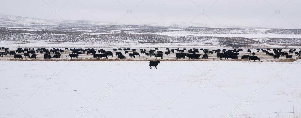 Cows in Deep Snow on the Ranch
