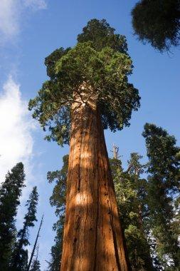 Giant Ancient Seqouia Tree Kings Canyon National Park
