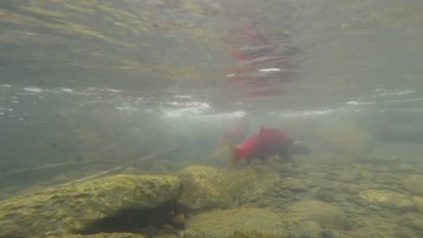 Volně žijící lososi růžové reprodukující jasný ledovec proud zvířat volně žijících živočichů