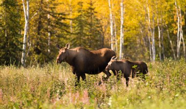 Cow Moose leads Her Calf Across Road Near Denali Alaska