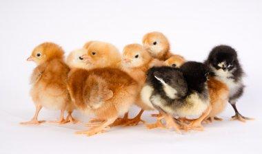 Baby Chick Newborn Farm Chickens Australorp Rhode Island Red